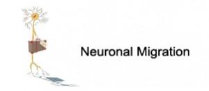 Neuronal-Migration