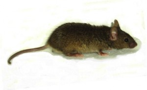 Figure 1: The Jenna mutant mouse. This mouse harbours a S140G mutation in the Tuba1a gene which results in defect neuronal migration during development. As a consequence the Jenna mouse is characterised by abnormal lamination of the hippocampus that is accompanied deficits in cognitive tasks.