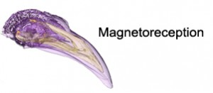magnetoreception