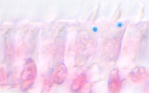 Figure 1: Shows pigeon hair cells stained with Prussian Blue, (which labels ferric iron), and nuclear fast red. A single iron-rich organelle is found per a cell, and it is located beneath the stereocilia.